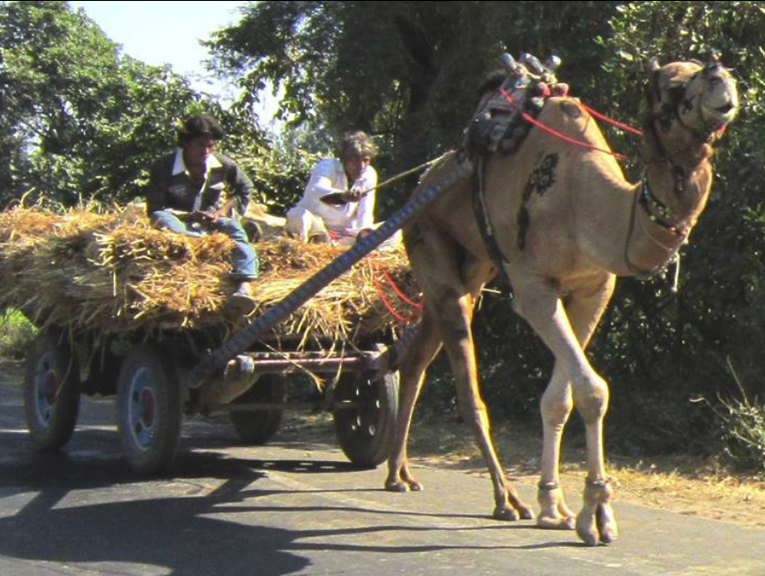 Camel pulling a load outside Gandhinagar.