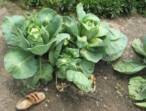 cabbages-product of the greenhouses